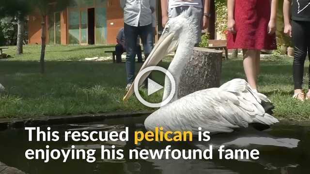 Injured pelican becomes symbol of Albanian wetlands park