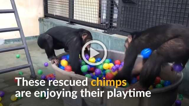 Rescued chimps enjoy retirement in makeshift ball pit