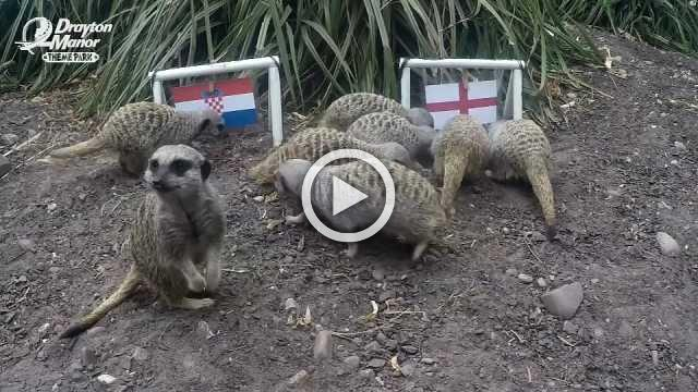 Meerkats predict England semi-final win