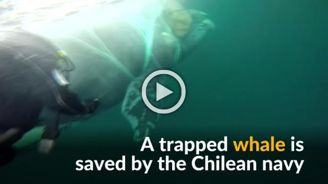 Chilean Navy frees trapped whale