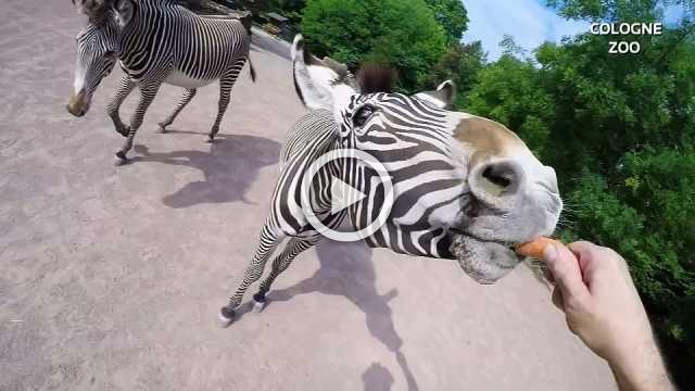 Feeding time at German zoo