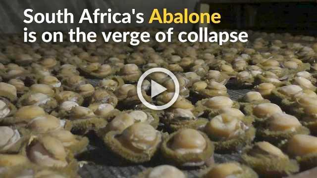 South Africa's Abalone face growing poaching threat