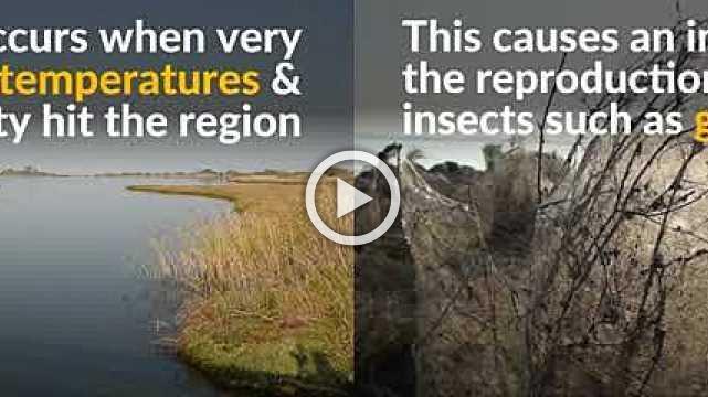 Spider webs envelop shore of Greek lake