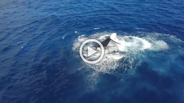 Humpback whale takes swipe at over-eager diver