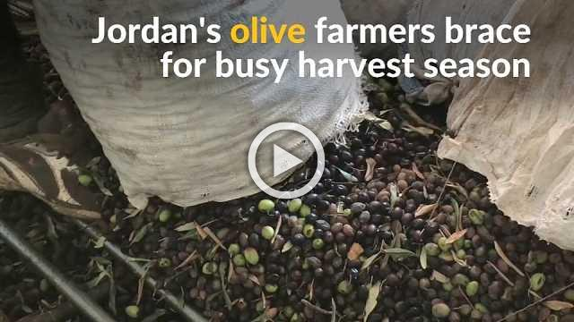 Jordanian olive farmers gear up for busy harvest