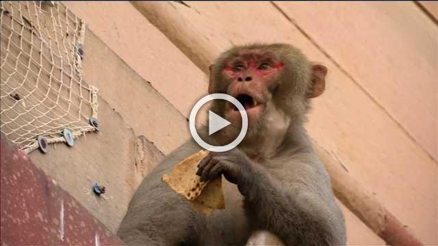 New Delhi monkeys run amok in India's corridors of power