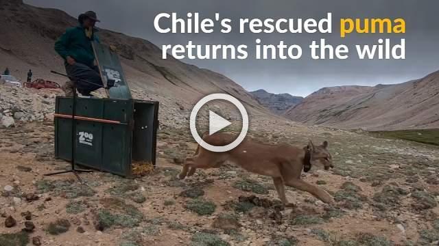 Rescued puma runs into the wild