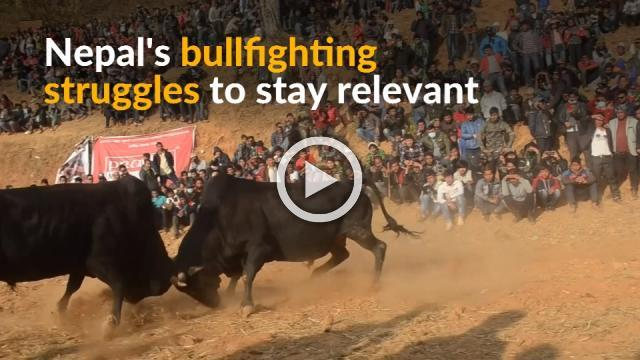 Nepal struggles to attract crowds to bullfighting