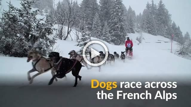 300 dogs run across the French alps in sled racing competiton