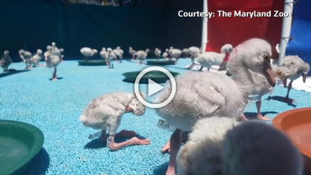 U.S. zoo helps rescue lesser flamingo chicks in South Africa