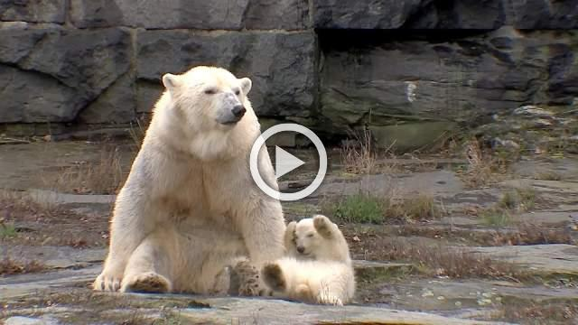 Berlin zoo proudly shows off polar bear cub