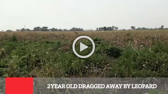 2 Year Old Dragged Away By Leopard