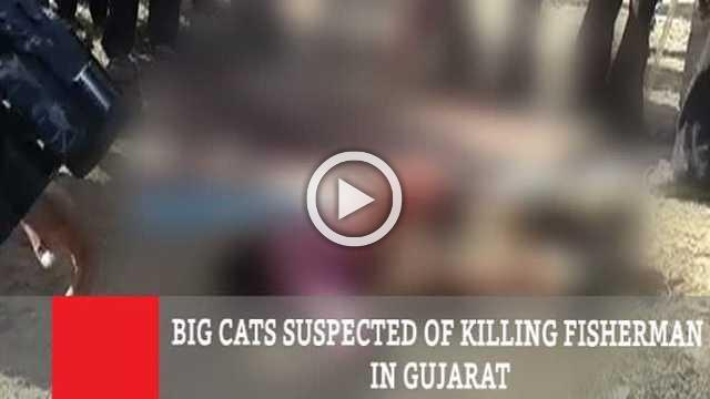 Big Cats Suspected Of Killing Fisherman In Gujarat