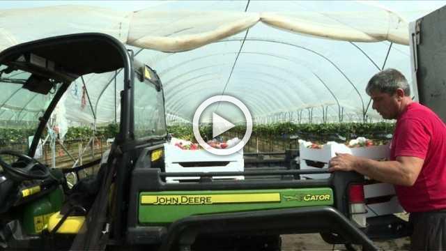 British strawberries in a jam over picker shortage
