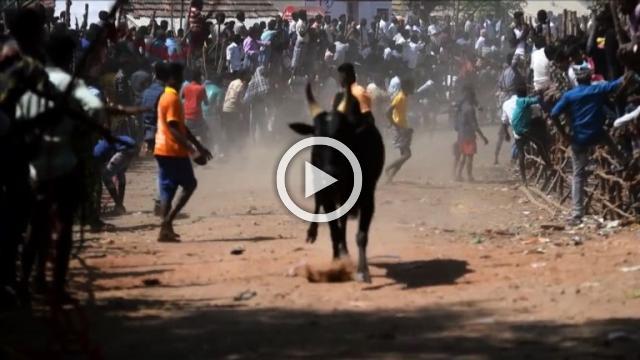 Indian bullfighters participate in Jallikattu festival