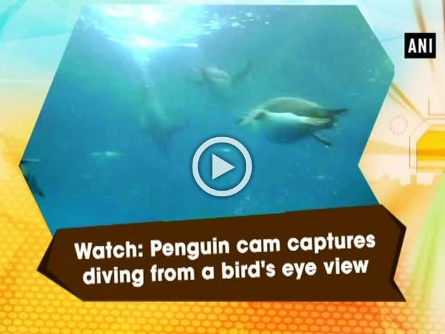 Watch: Penguin cam captures diving from a bird's eye view