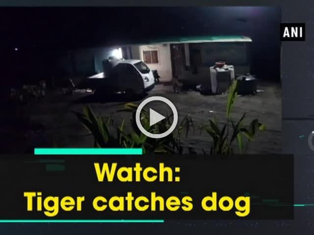 Watch: Tiger catches dog
