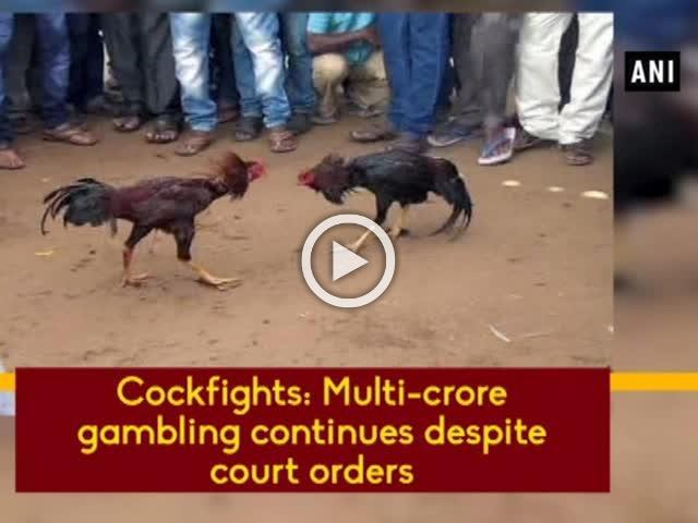 Cockfights: Multi-crore gambling continues despite court orders