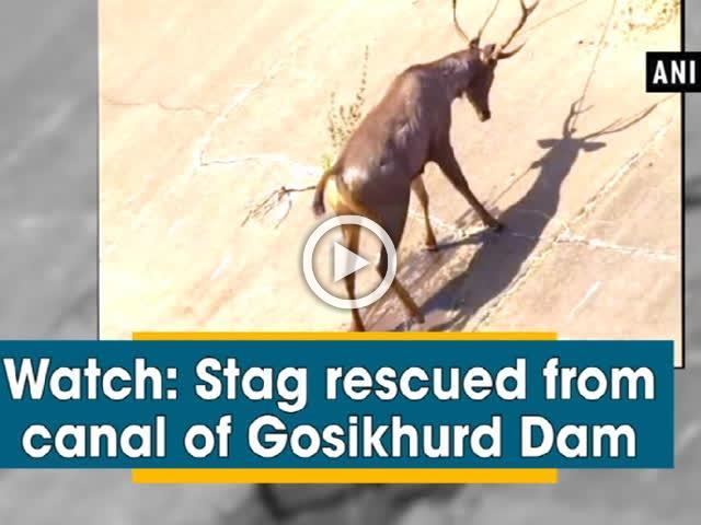 Watch: Stag rescued from canal of Gosikhurd dam