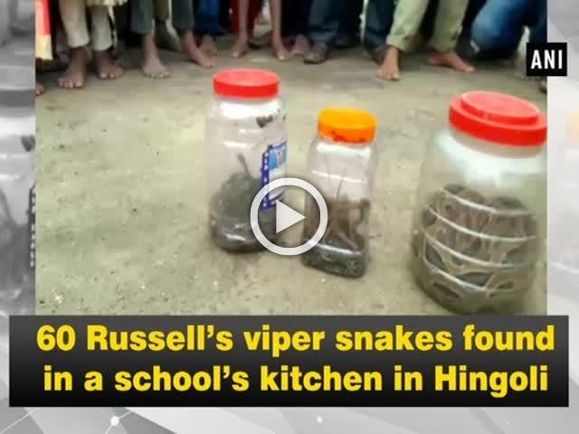 60 Russell's viper snakes found in a school's kitchen in Hingoli