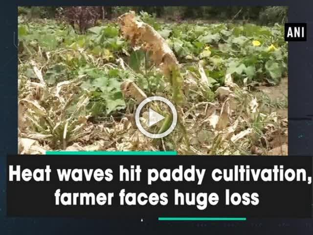 Heat waves hit paddy cultivation, farmer faces huge loss