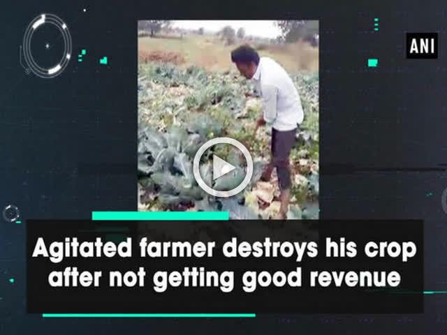 Agitated farmer destroys his crop after not getting good revenue