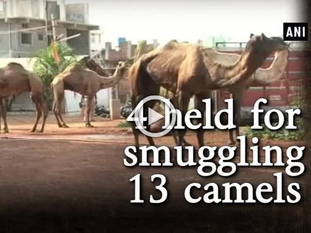 4 held for smuggling 13 camels