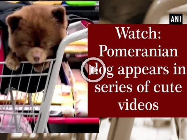 Watch: Pomeranian dog appears in series of cute videos