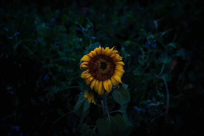 Sunflower dying dark