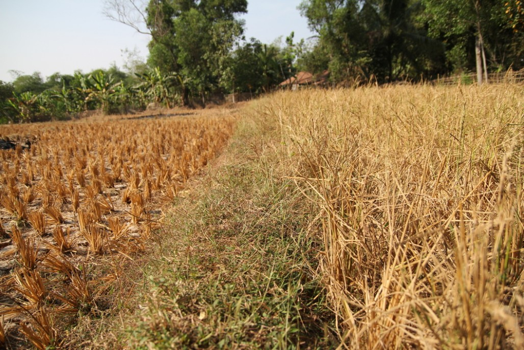 Rice Fields in Cibarusah Sustain Crop Failure Due to Drought' photo