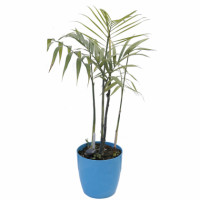 Bamboo palms bring color and warmth to any room in the house. There are many tropical delights to choose from, but most need bright indirect light in order to thrive. Product Highlights: -Plant-level: Medium -Great indoor plant -perennial plant -Air purifier plant -Max growth(approx)- 4-12ft