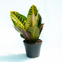 Croton plants stiff, leathery leaves in bold colors of yellow, pink, red, orange and green make it a beautiful and popular house plant. Codiaeum Variegatum Petra Plants is a cheerful plants. It's also just the right choice for that special someone's gift. Product Highlights:  -Plant level: Easy -Suitable for lit spaces -perennial plant -Perfect house plant -Shiny leaves