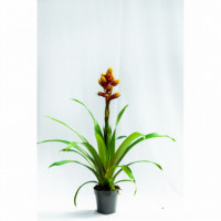 Guzmania plants are perennial plants in the bromeliad family.Bromeliads is simple and their unique growth habit and flower bracts will add interest to the home year round.   plant highlights:  -Perfect as trendy indoor  -Shiny leavesBright colored flower -Perfect for Kitchen,  -Living room & bathroomLoves warm lit space