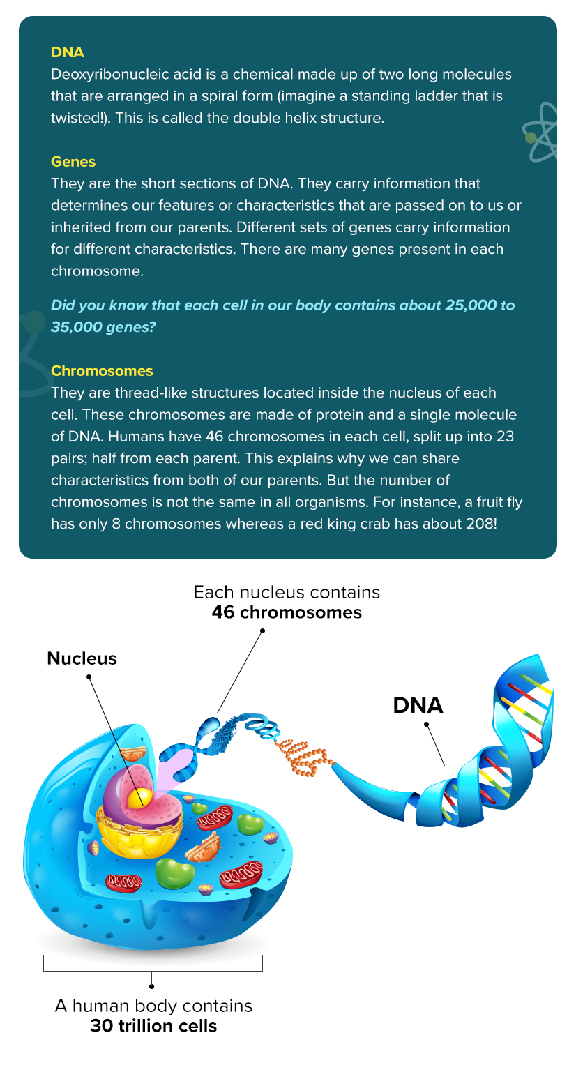 What are DNA, Genes, and Chromosomes?