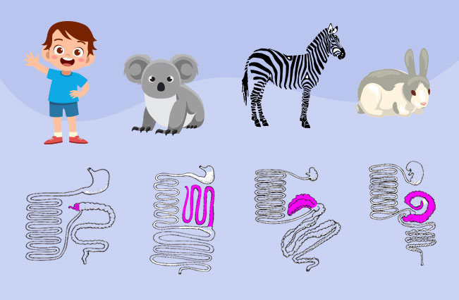 The presence of appendix in human, koala, zebra, and rabbit.