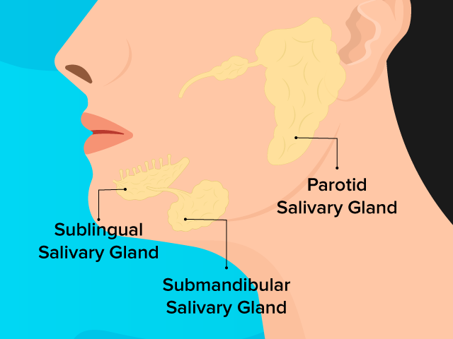 The three types of salivary glands