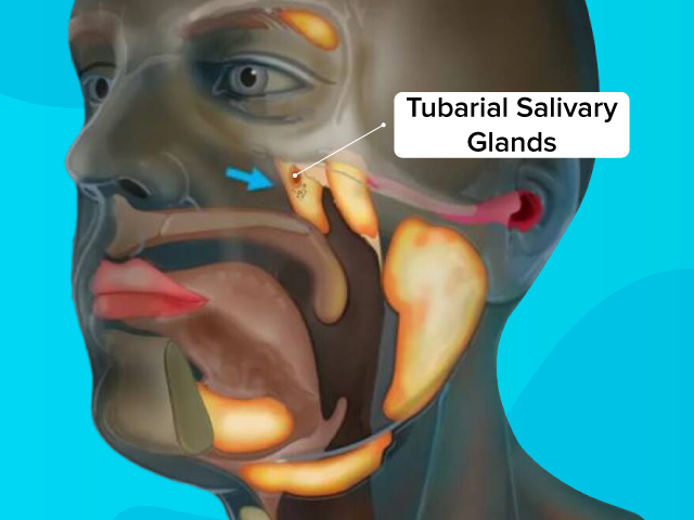 The tubarial salivary glands are found in humans between the nasal cavity and throat