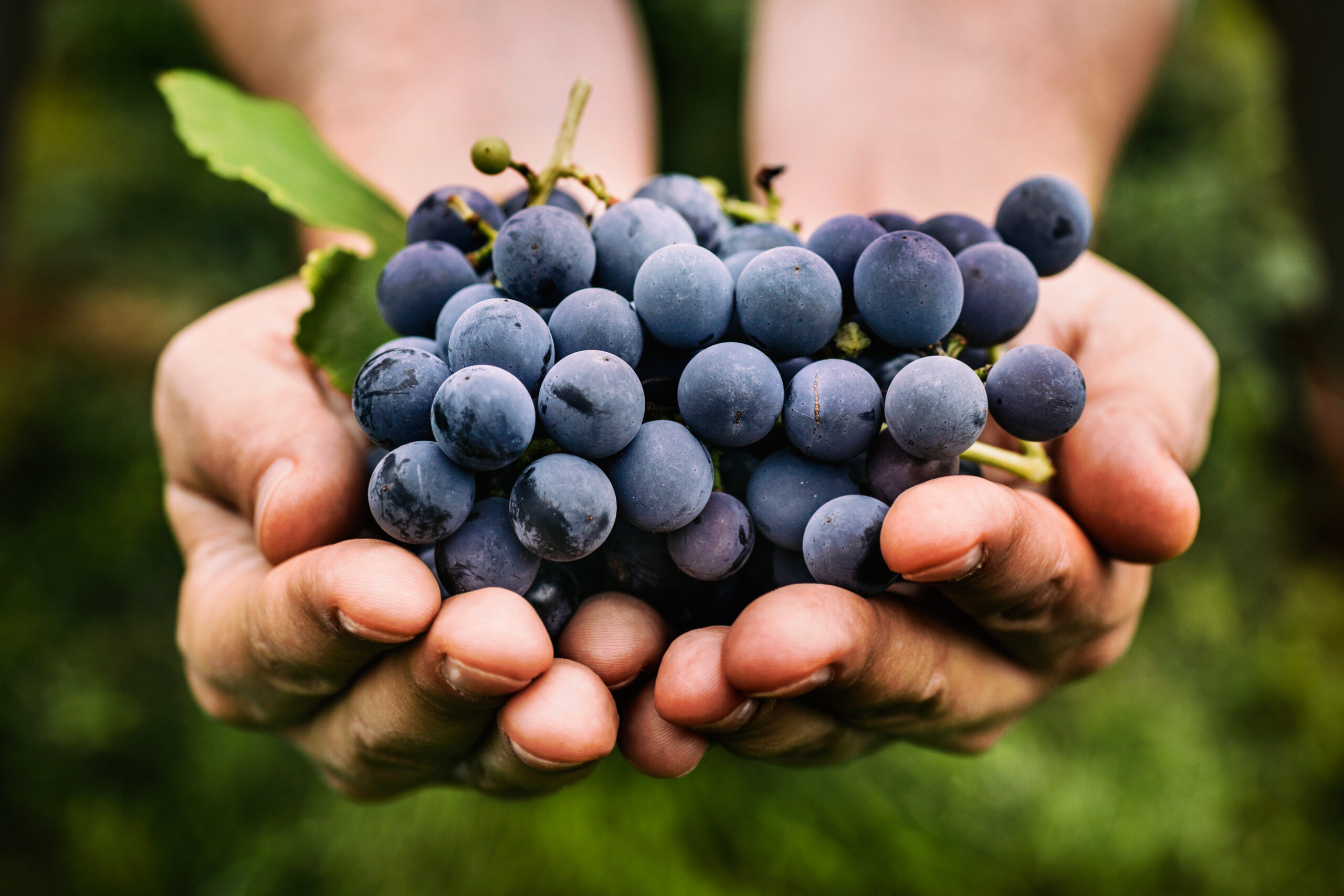 12 grapes are eaten at midnight to celebrate the New Year in Spain!