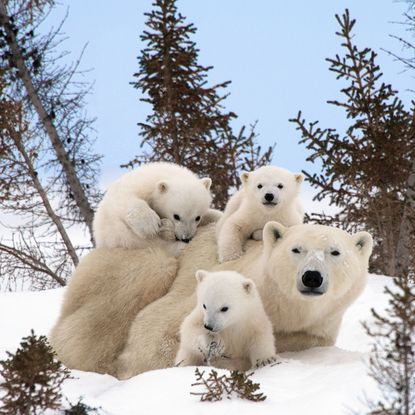 Wildlife photograoher Thomas Kokta captured these young polar bear cubs playing in the wilderness of Manitoba Canada. (Thomas Kokta/Caters News Agency)