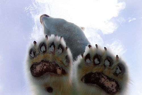 Paws of a polar bear. | Photo credit: Pinterest