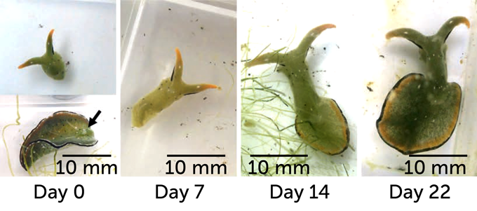 Within a few hours of autotomy, the heads of young slugs started feeding. The heart started regenerating within a week - and within just three weeks, the sea slug had a whole new body, good as new. Image Source: S. Mitoh and Y. Yusa/Current Biology 2021