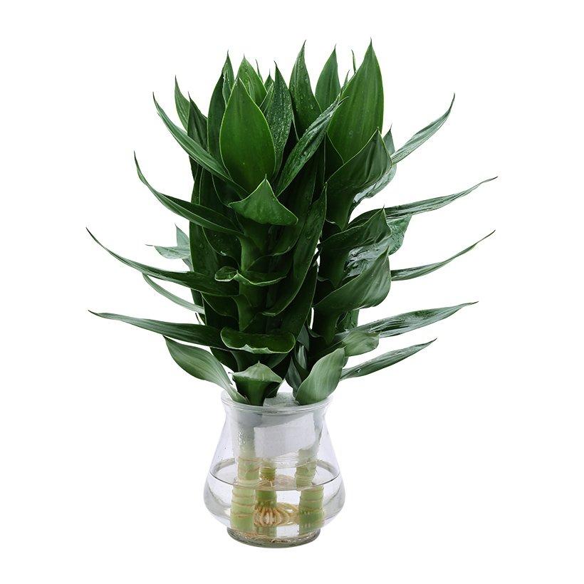 Ý nghĩa phong thủy và cách trồng cây Phát Lộc thủy sinh