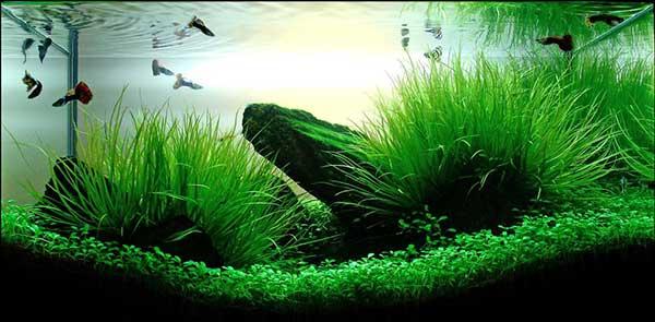 Cách trải nền và chăm sóc cốt nền thủy sinh