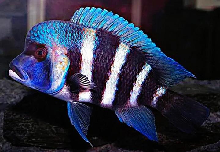 Những loại cá đầu bò đẹp và độc đáo nhất hiện nay