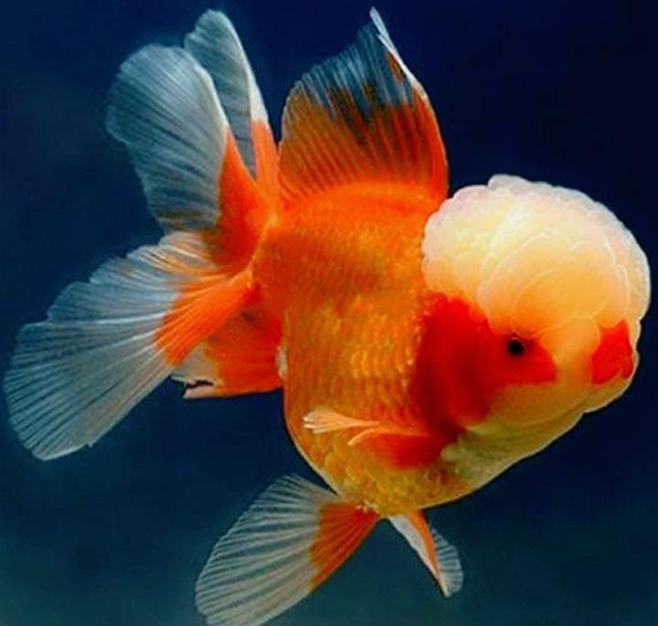 Những sự thật thú vị về cá vàng