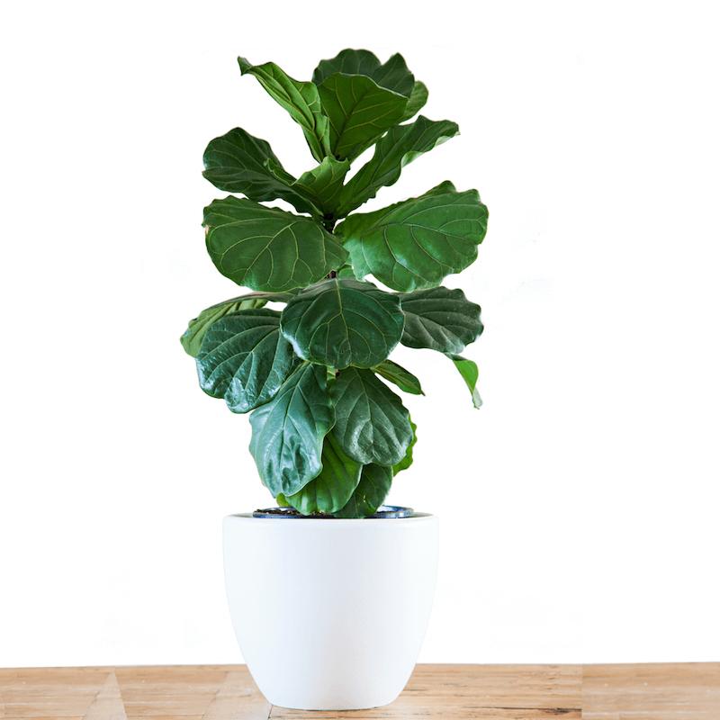 Fiddle leaf fig tree – ต้นไทรใบสัก