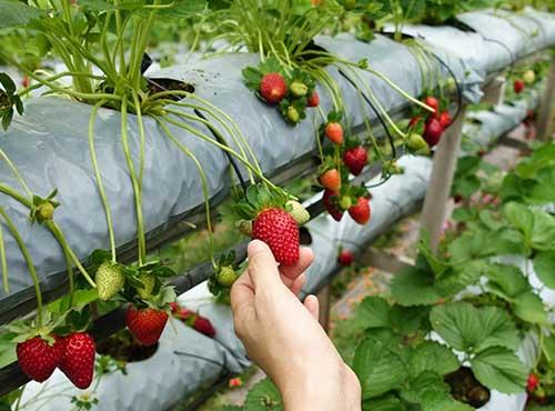 nuwara eliya strawberry farm